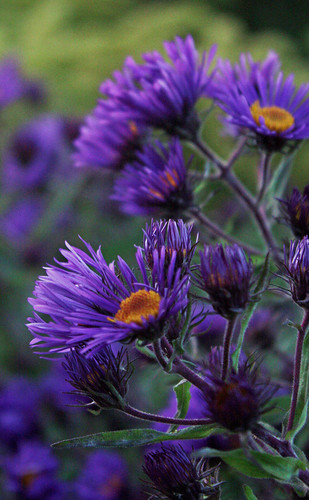Dark purple asters