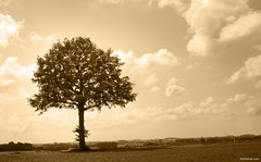 The Peace Tree (Ben Heine) Tags: tree golden sepia peaceful leaves feuilles texture softtones benheine baum  arvore albero rbol   contrejour monochrome light lumire clouds licht tronc nature flore flora lowhorizon simplicity composition simple marron freedom loneliness nikond70 belgium braives countryside campagne pov nuages soft doux