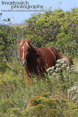 Mustang (Frank Markovich) Tags: horses lighthouse beautiful duck nc sandy sandbar northcarolina nagshead surfboard beaches mustang outerbanks corolla corrolla corova hateras