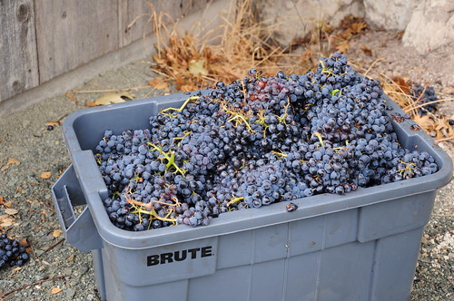 Toward the end, we had filled all the primary fermentation bins and the Mexicans were still picking. We had to sacrifice three of these bins of grapes for the deer and critters.