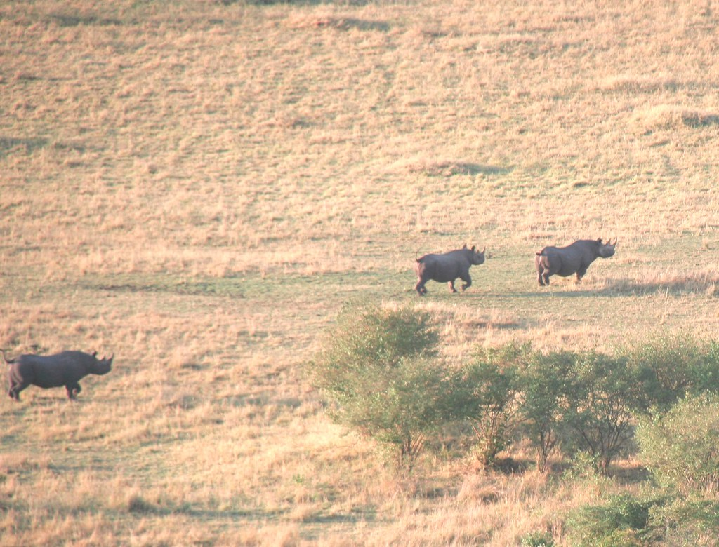 3 Black Rhinoceroses (from Balloon) - Maasai Mara, Kenya