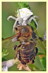 Thomisus onustus & Apis mellifera (PheCrew) Tags: macro photoshop bug insect spider pasto prey makro insetto arachnida ragno preda apismellifera soken thomisusonustus phecrew beautifulmonsters
