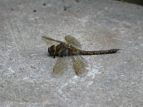 Lost Dragonfly