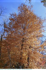 2009-10-26 0349 Fall in Indiana - Holliday Park, Indianapolis Indiana (Badger 23 / jezevec) Tags: park autumn trees orange tree green fall nature leaves yellow forest season arbol leaf log woods timber indianapolis herbst indiana boom foliage environment otoo  arvore holliday albero autunno arbre 2009 strom baum outono fa tr puno treet  pokok  aa koks   copac  pohon  drzewo  jezevec mti medis arbore crann drevo cy     auomne   deherfst  badger23 pyebwa 20091026 sira