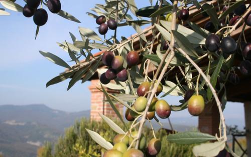 Olives 2009 001