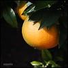 Naranja (Merillou) Tags: light orange color colour luz cam laranja squareformat naranja oren oranje arancione taronja オレンジ oransje laranxa appelsínugulur oranssi kahel apelsin апельсин narancs oranye turuncu nikond60 橙色 pomaranča 오렌지 chungwa narančasto πορτοκαλί formatocuadrado portokalli pomeranč apelsīns apelsinas merillou оранжев portocală สีส้ม oráiste ऑरेंज апельсін портокалово oranġjo наранџасто מאַראַנץ