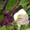 Climber (Tedje51) Tags: flower bloem geldrop naturesfinest kasteeltuin cobaeascandens klimplant justcropped