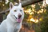 Salt (Gertrude139) Tags: park sunset portrait dog white love beautiful smile animal tongue walking outside happy husky outdoor siberianhusky sibe bieyed