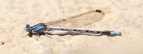 unknown damselfly2