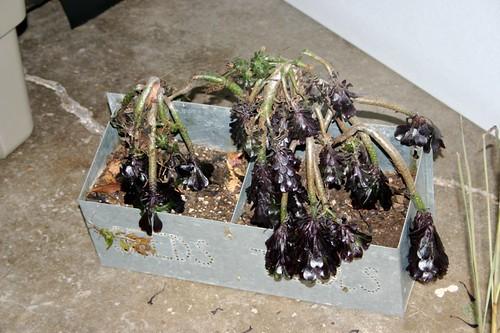 Overwintering tender succulents