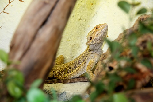 dragon bearded pogona vitticeps agame bartagame