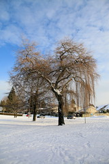 A giant willow tree (Digital_trance) Tags: sunset snow canada 20d vancouver sunrise canon landscape 300d canon300d britishcolumbia canon20d canoneos20d   canoneos300d vancouverbc     40d canoneos40d canon40d 5dmarkii 5d2 5dii canon5dmarkii eos5dmarkii canon5d2
