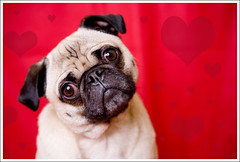 Happy Valentine's Day! ([Christine]) Tags: red hearts pug valentines wookie 652 mywinners abigfave impressedbeauty 52weeksfordogs