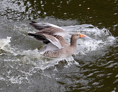 Quick they are chasing me !! (tracyhughes2_7. CPAGB LRPS) Tags: nature kent supershot mywinners citrit platinumheartaward 100commentgroup thewonderfulworldofbirds superstarthebest