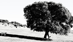 """The walking tree"" or ""The walking Encina"" Colmenar del Arroyo Madrid Espaa Spain Mediterrneo Mediterranean (CUPUAU) Tags: world voyage travel viaje light shadow bw espaa dog white holiday black tree tourism blanco nature silhouette cane rural canon photography vacances countryside tim spain reisen urlaub negro ombra bn perro campagna land campo traveling monde landschaft turismo campagne espagne viaggi bianco nero vacaciones mundo spanien spagna tourisme reise viajar campanha welt mondo tursimo encinas cupuau encina platteland quercusilex fagaceae traveldestinations rurale viaggiare carrasca colmenardelarroyo bosquemediterrneo chapineria backgroundtree mediterraneantree fagceas montorfani cuapuautim timmontorfani laencinaelrboldelmediterrneo"