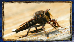 ....and the ant had a bad day..... (psycho_pixie) Tags: bug insect whatisit robberfly assassinfly 193365 psychopixie project36612009 12jul2009 baddayfortheant