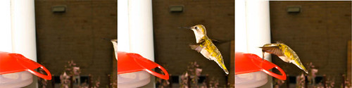 Hummingbird feeds