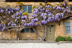 wisteria (thanks for the answer folks) (flamed) Tags: uk stone countryside country broadway lavender cobbled quaint hobbit wisteria cottages cotwolds glassstained welcomeuk