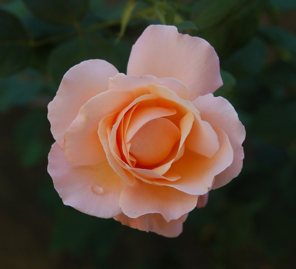 DSC_0395_rose_water_drop