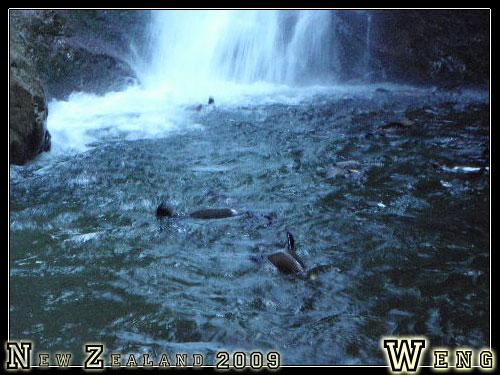 Ohau Stream, Seals