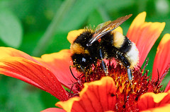The bee's dinner (Vin0x64) Tags: red orange flower macro green beautiful yellow closeup fleurs garden insect rouge wings flickr colours afternoon weekend flor jardin vert bumblebee explore polen pollen 70 insecte ptale aile lightroom grosplan ailes d300 abejorro bourdon tamron90f28 explored i500 explore70 flickrpublic