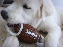 New Toys 4 (PolothePup) Tags: dog puppy great polo pyrenees greatpyrenees