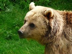 Whipsnade  ours brun gp jy 280709 (koller93) Tags: bear england animal fauna bar mammal zoo tiergarten whipsnade ours abigfave