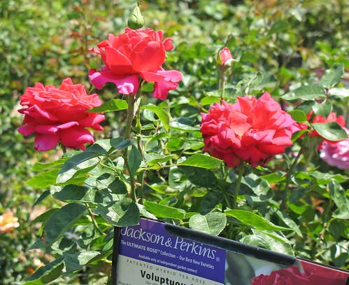 Voluptuous rose