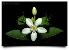 Sekuntum Untukmu (AnNamir c[_]) Tags: lighting flower macro closeup canon kitlens symmetry malaysia bunga diffuser 500d speedlite kualakubu 580exii annamir roseseafood sahabatsejati getokubicom imagesforthelittleprince