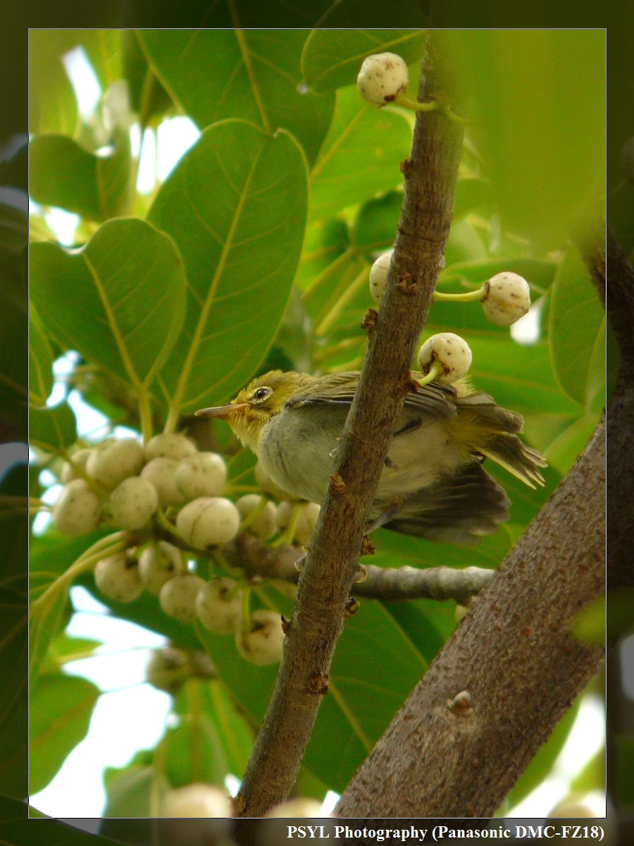 Japanese White-eye (Zosterops japonicus) fledgling - 綠繡眼幼鳥
