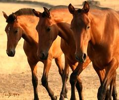 Bandolera-Bandera-Bolera MT (Santy1964) Tags: horses horse caballos capa pre trujillo castaa extremadura tovar galope yeguada potras