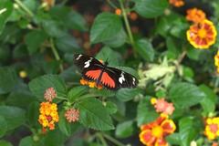 butterfly16008 (mdsiamese) Tags: gardens brookside dorislongwing