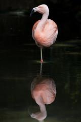 Greater Flamingo (WilliamBullimore) Tags: pink reflection bird one flamingo feathers australia solo adelaide southaustralia greaterflamingo phoenicopterusroseus chileanflamingo adelaidezoo phoenicopteruschilensis digitalcameraclub
