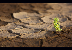 Keep up..don't stop !  Explored !! (mr.alsultan) Tags: plant macro canon eos hope desert sigma dry mohammed drought kuwait q8 105mm dryness    450d   alsultan   mralsultan