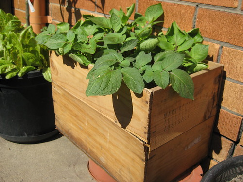 Container gardening: potato