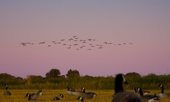 Geese hunting season (incoming food!) (Michel Filion) Tags: morning sky canada bird nature field canon dawn geese outdoor hunting champ chasse outardes bernaches canonef70200mmf4lusm 40d mike9alive michelfilion