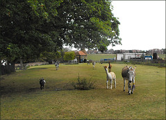 donkeys and llamas and goats - oh my... (maggie224 -) Tags: field donkeys goat rc llamas oasthouse
