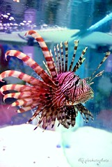 pez leon (Appleskatephoto) Tags: fish tank malawi cichlids ciclidos mbunas
