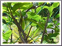 Lenticellate stems of Tristellateia australasiae (Shower of Gold Climber, Vining Milkweed)