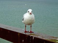 Timmendorfer Strand - Möwe (abudulla.saheem) Tags: ocean sea birds animals germany nikon meer seagull balticsea möwe timmendorf ostsee schleswigholstein timmendorferstrand coolpixl12 abudullasaheem