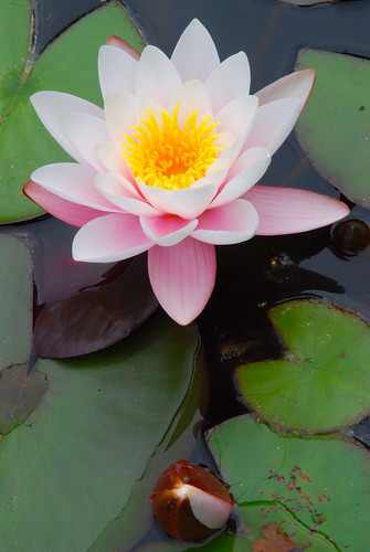 """Hi Buddy"" Said the Water Lily to Her Neighbour!"