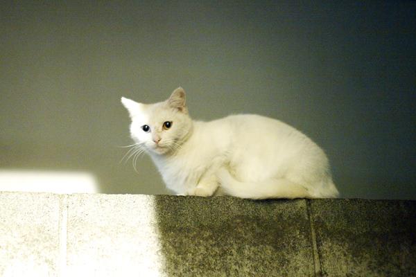 Odd eye Cat 9