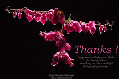 Thanks - My Flickr Friends -  for 355,000 views ! (Captain Suresh Sharma) Tags: thanksgiving thanks flashphotography naturephotography pinkflowers greetingcards indoorphotography lightmodifiers flowerphotoonblackbackground elinchromstrobes photographybycaptsureshsharma flashphotographybycaptsureshsharma photographyundercontrolledconditions largeviewrship digitalgreetingcards redflowerbunch popularflashphotography usageofelinhcromstrobes elinchromstrobesystemforflowerphotography pinkflowersbunch largeviewership