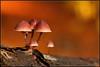 Burgundydrop Bonnet (Mycena haematopus) (BraCom (Bram)) Tags: autumn macro fall nature forest mos moss woods herfst natuur bos closup soe captivating goldaward silveraward greatphotographers bronzeaward likethis bej abigfave mycenahaematopus theunforgettablepictures goldstaraward grotebloedsteelmycena yourarthastouchedtheworld universalelite andromeda50 beyondbokeh bracom burgundydropbonnet bramvanbroekhoven