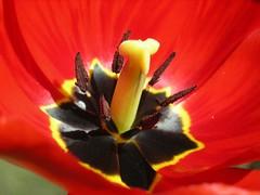 Tulip [Tulipa] (abudulla.saheem) Tags: germany nikon tulip nrw tulipa tulipe tulpen tulipaner tulp liliaceae tulipan tulipn tiwlip  mlheim   lale tulipani  tulppaanit  tilip   lalea  tulipo tulp tulpa  coolpixl12 tulpanslktet utkimhiong    bungatulip  lilioideae abudullasaheem dalalsi tolp  tlpa gagro puahlani kembangtulip