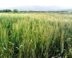 Milli Triffa     (Jamal Elkhalladi) Tags: nature morocco maroc agriculture printemps milli  hassi    berkane   triffa