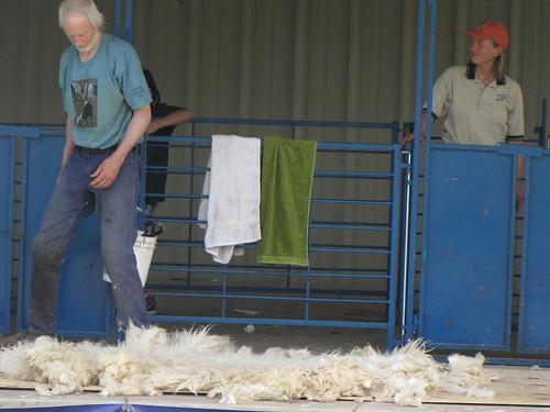 sheep sheering 3
