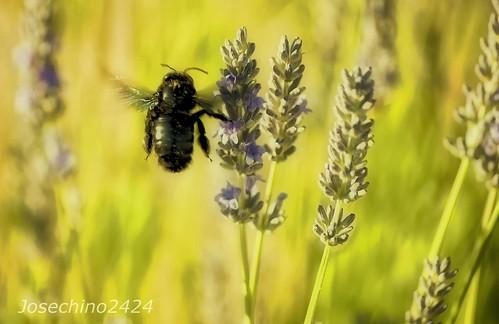 A  la caza del abejorro.