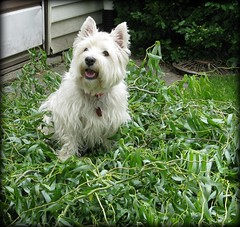 "6/12A ~ Riley ~ ""Dad's Helper"" (ellenc995) Tags: riley westie westhighlandwhiteterrier branches helping 12monthsfordogs platinumheartaward rubyphotographer friends naturallywonderful coth supershot naturesfinest pet100 coth5 concordians bej citrit 100commentgroup akob pet2000 pet1500 pet500 pet1000"