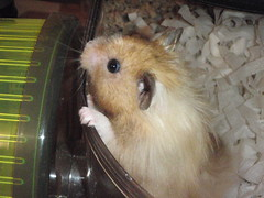 """""""Oh, new camera?"""" (Supermunchie) Tags: pet cute animal rodent biscuit hamster hammie"""